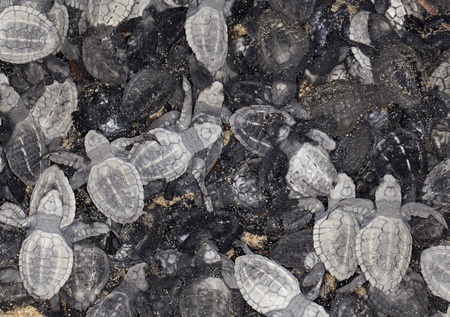 hatchling: Close-up of lots of baby olive ridley sea turtle (Lepidochelys olivacea), also known as the Pacific ridley. Stock Photo