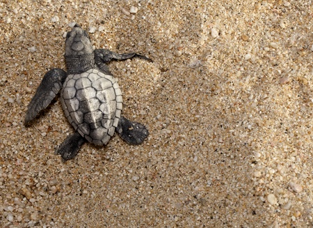 Close-up of baby olive ridley sea turtle (Lepidochelys olivacea), also known as the Pacific ridley, on beach sand. Off center for copy space