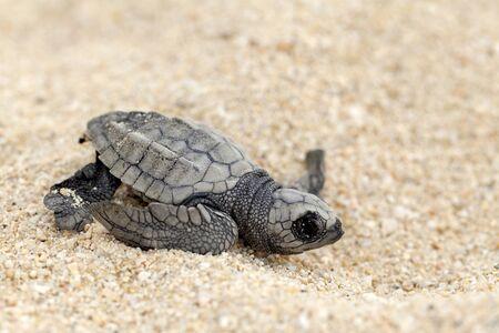 Close-up de bebé tortuga golfina (Lepidochelys olivacea), también conocida como la tortuga del Pacífico, en la arena de la playa. Selectivo se centran en las tortugas bebé. Foto de archivo - 11995659
