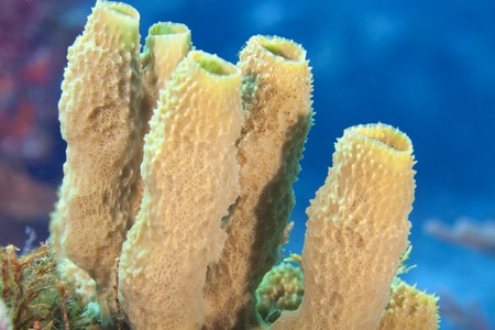 Close-up di spugne tubo su una barriera corallina