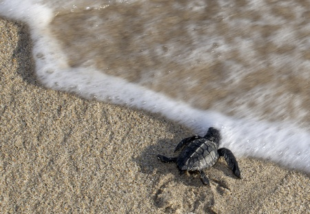 marinelife: A baby olive ridley sea turtle (Lepidochelys olivacea), also known as the Pacific ridley, reaching the water for the first time. Motion blur on the wave. Copy Space Stock Photo