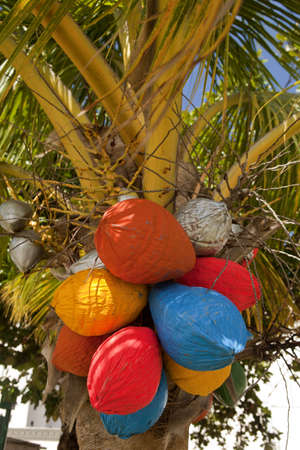 Coconuts painted for Christmas up in palm tree.