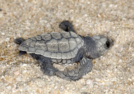 Close-up of baby olive ridley sea turtle (Lepidochelys olivacea), also known as the Pacific ridley, on beach sand. Selective focus on baby turtle. Stock Photo - 12012403