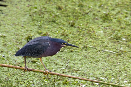 Least Bittern (Ixobrychus exilis) purched over duckweed looking for food.