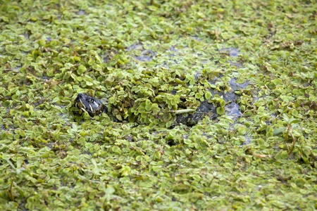 Turtle Camouflage in Duckweed