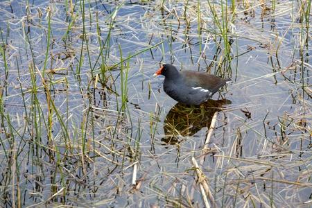 wadding: Bird Wadding in Water