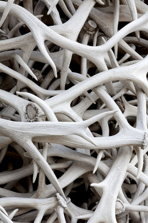 A pile of sun bleached elk antlers for background texture and pattern photo