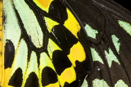 Close-up view of the detail of a Common Birdwing (Troides helena) , a beautiful and large butterfly belonging to the Swallowtail (Papilionidae family). Stock Photo - 12193780