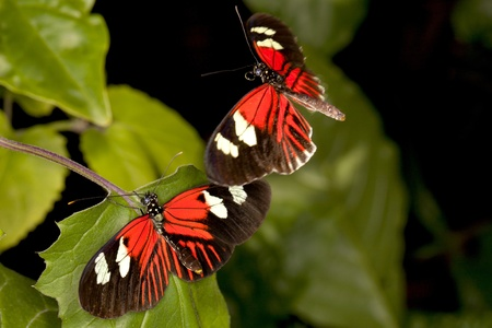 Female Piano Key butterfly (Heliconius melpomene) attracts male to mate with. Motion blur on flying butterflies Stock Photo