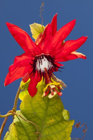 Red Granadilla, Scarlet or Red Passion Flower (Passiflora miniata) on a clear blue sky background Stock Photo - 12193779