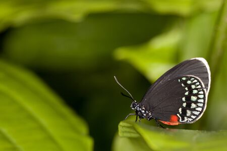 The Atala butterfly (Eumaeus atala), also called  Coontie Hairstreak.