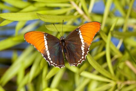 Rusty-tipped Page butterfly (Siproeta epaphus), also known as the Brown Siproeta Butterfly. Stock Photo - 12193775