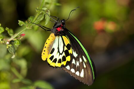 Closeup Common Birdwing  Troides helena  is a beautiful and large butterfly belonging to the Swallowtail  Papilionidae family   Stock Photo - 12526978