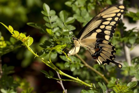 Swallowtail  Papilio Machaon  butterfly laying eggs on bush