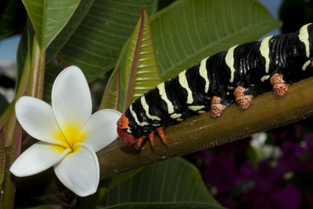sphingidae: The Frangipani Hawkmoth caterpillar  Pseudosphinx tetrio  is the caterpillar for the Tetrio Sphinx moth on a Frangipani Tree  Plumieria alba    The bright colors of the caterpiller is a warning that they are poisonous