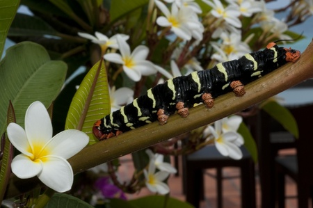 The Frangipani Hawkmoth caterpillar  Pseudosphinx tetrio  is the caterpillar for the Tetrio Sphinx moth on a Frangipani Tree  Plumieria alba    The bright colors of the caterpiller is a warning that they are poisonous  Stock Photo - 13145184