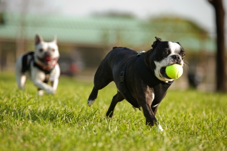 dogs playing: Two French Bulldog playing fetch in a park