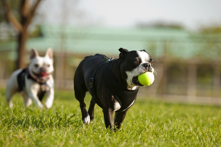 fetch: Two French Bulldog playing fetch in a park