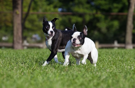 two animals: French Bulldog and friend playing in a park, slight motion blur on running dogs
