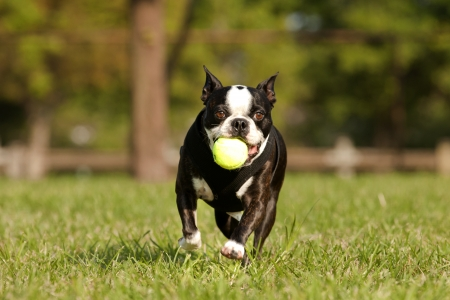 French Bulldog playing fetch in a park, Copy space above dog,on ball and on vest