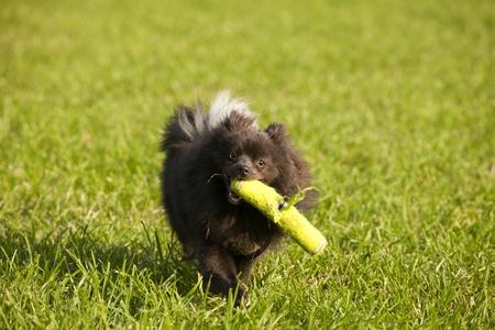 fetch: Black pomeranian  or Pom Pom  playing fetch in the park Stock Photo