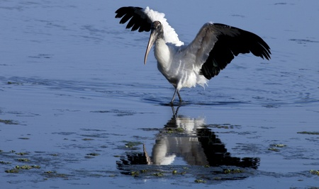 Wood Stork  Mycteria americana  hunting for food  The stork spreads it wings to cas a shadow so in can better see fish in the water