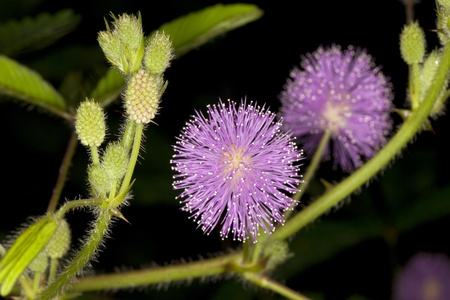 lose up of the flower of an Mimosa pudica plant photo