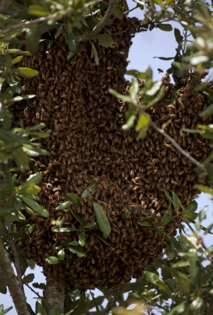 Swarm of Bees in tree photo