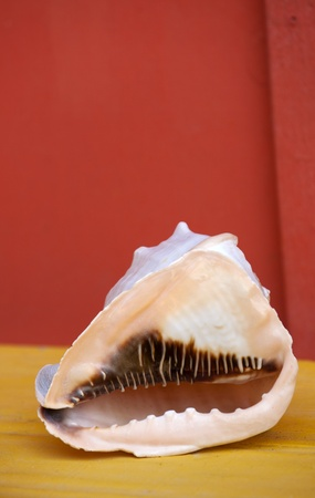 marinelife: Helment Conch on a table with a red background Stock Photo