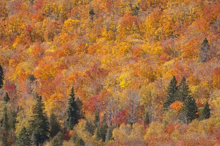 Colorful fall foliage in the trees along a side of a mountain  Natures backdrop photo