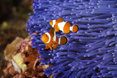 Two Ocellaris clownfish  Amphiprion ocellaris  anda blue sea anemone