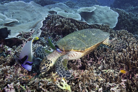 pomacanthus imperator: Tartaruga embricata Eretmochelys imbricata nutrendosi di barriera corallina con pesci angelo imperatore, Pomacanthus imperator vicino