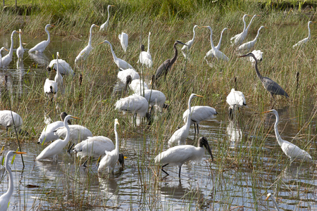 Flock of Birds in the Everglades