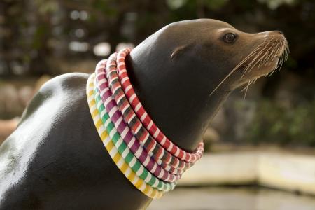 California Sea Lion  Zalophus californianus  with rings around neck Reklamní fotografie