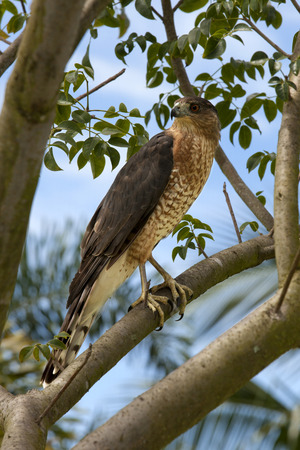 shouldered: Red-shouldered Hawk  Buteo lineatus  in a tree