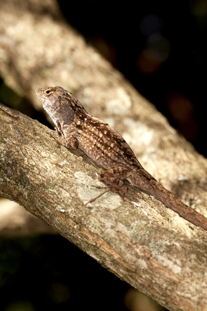 concealment: Lizard camouflage on a tree branch Stock Photo