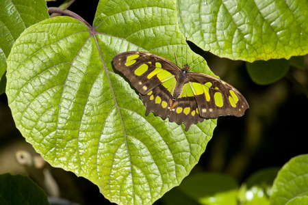 Malachite butterfly resting on a leaf  the pattern on the leaf make it like the leaf is torn to other animals photo