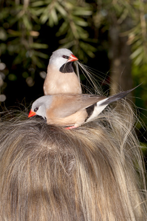 Bad hair day when 2 shaft-tail finch,poephila acuticauda, try to nest in it