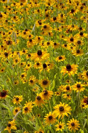 governor: Feild of Black-eyed Susan  Rudbeckia hirta  flowers on Governor s Island, New York City