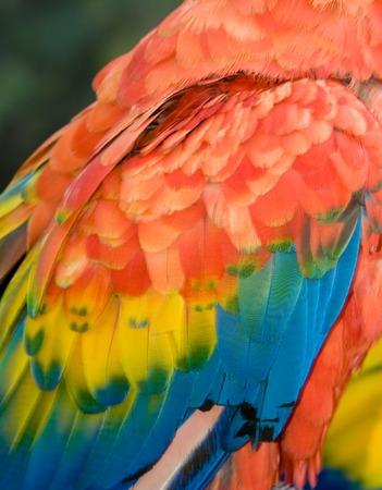 Closeup of Scarlet Macaw (Ara macao) Wing Banco de Imagens