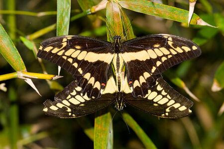 Close-up of mating Thoas Swallowtail butterfly
