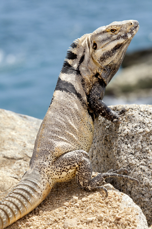 concealment: Male, Iguana (black variation of species) on the rocks in Cabo San Lucas, Mexico. The iguana is well camouflage and blends into the rock background well. Stock Photo
