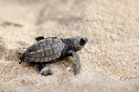 Close-up of baby olive ridley sea turtle (Lepidochelys olivacea), also known as the Pacific ridley, on beach sand. Selective focus on baby turtle.
