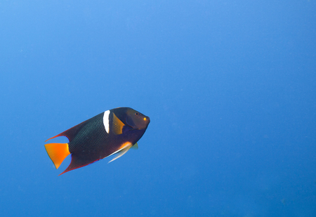 reeffish: A single King Angelfish (Holocanthus passer) swimming up. Off center for copy space. Stock Photo