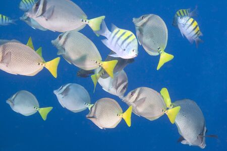 surgeonfish: Large school of colorful tropical fish in the clear blue sea. Some of the fish include: Yellowtail surgeonfish (Prionurus punctatus ), Sergeant Major Stock Photo