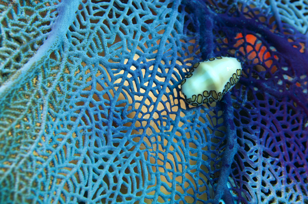 gorgonian sea fan: Flamingo tongue snail (Cyphoma gibbosum) on a purple seafan or Venus fan (Gorgonia ventalina)