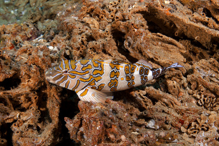 reeffish: Giant Hawkfish Cirrhitus rivulatus is a subspecies of hawkfish. The fish i purched on tubeworm tubes Photographed in the Sea of Cortez Stock Photo