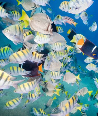 baha: Large school of colorful tropical fish in the clear blue sea. Some of the fish include: Yellowtail surgeonfish Prionurus punctatus  Sergeant Major or