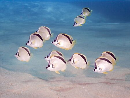 School of Blacknosed Butterflyfish Johnrandallia nigrirostris also known as a Barberfish photographed in the Sea of Cortez Cabo San Lucas MexicoSchool of Blacknosed Butterflyfish Johnrandallia nigrirostris also known as a Barberfish photographed in the Se
