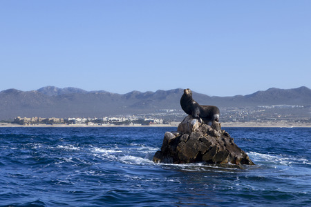 hill of the king: Male sea lion on rocks in the middle of the ocean with Cabo San Lucas in the background. King of the hill